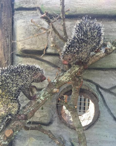 Prehensiled Tail Porcupine