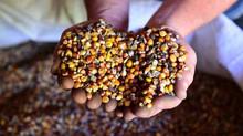 En agriculture, le bio est plus performant face aux attaques d'agents pathogènes