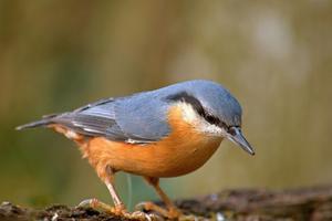 D'autres oiseaux sont menacés à Paris, comme la sittelle torchepot