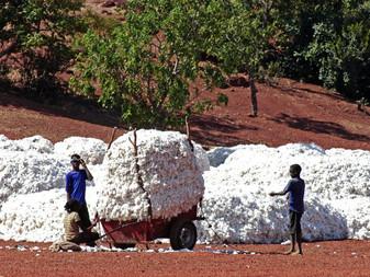 Le Burkina dit stop au coton OGM de Monsanto.. et fait une super récolte!