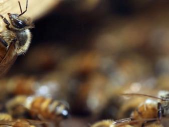 Les abeilles faiseuses de miracles