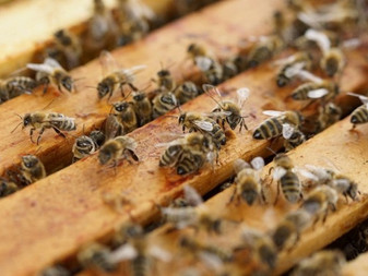 Tendances suicidaires: les abeilles pourraient les expliquer et les prévenir