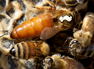 MATED QUEENS FOR SALE UK
