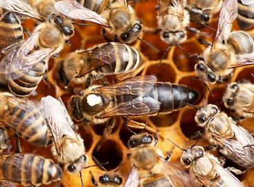BUY QUEEN BEES
