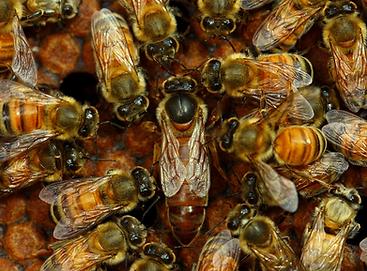 QUEEN BEES FOR SALE UK