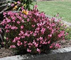 gaura-lindheimeri-gambit-rose
