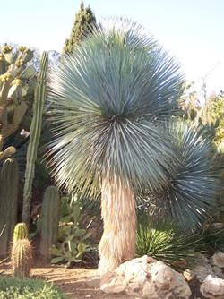 yucca-rostrata