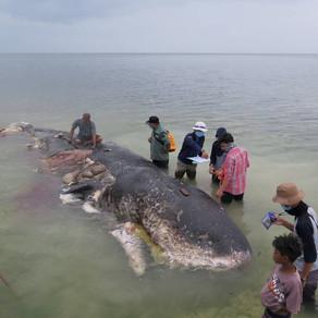 Νεκρή φάλαινα από 115 πλαστικά ποτήρια και 1.000 κομμάτια πλαστικό
