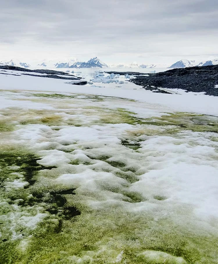 Πηγή: Remote sensing reveals Antarctic green snow algae as important terrestrial carbon sink