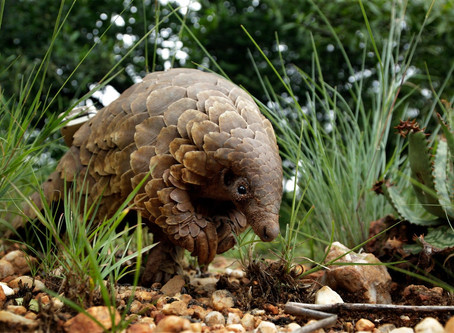 Pangolins Are Suspected as a Potential Coronavirus Host