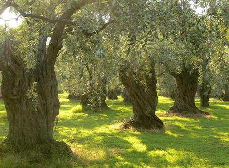 Κρήτη: Smart farming στην ελαιοκαλλιέργεια!
