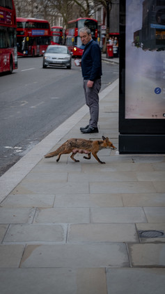 Fox on the run, on the Strand