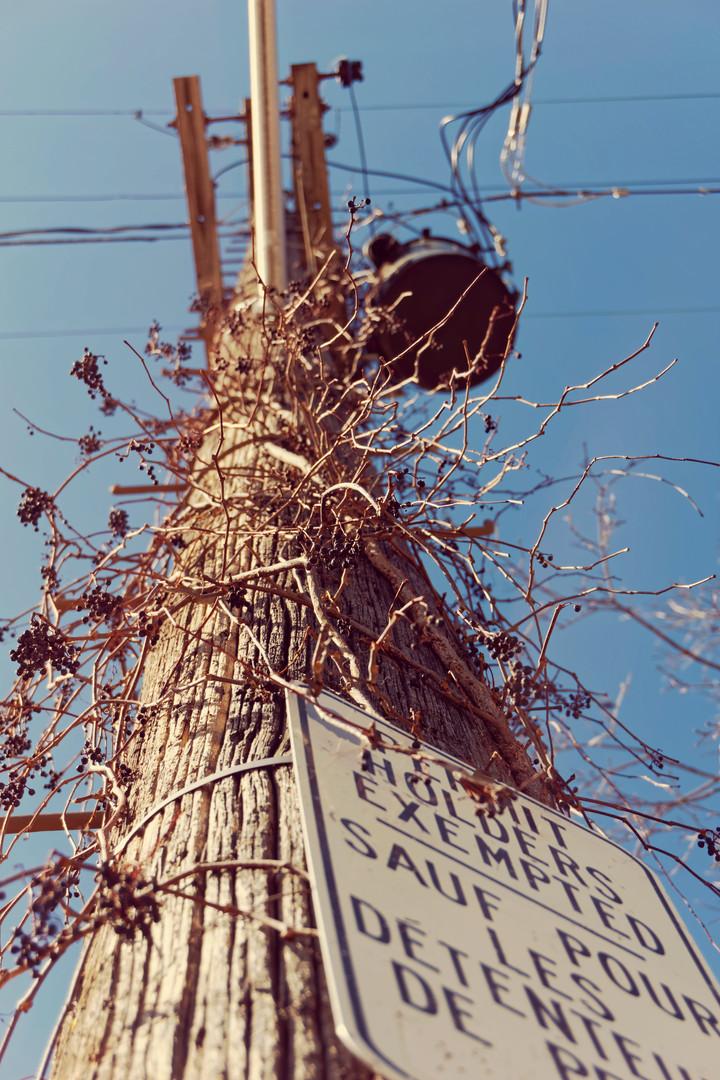 Kichi Sibi Grass family Electrical suppl