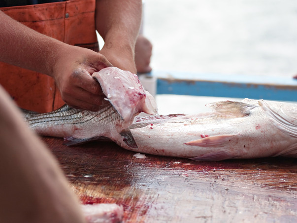 Filleting Fresh Rockfish