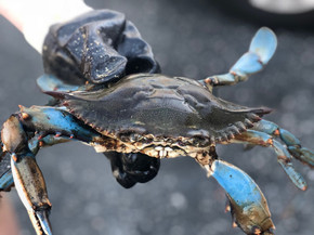 Live #1 Crab