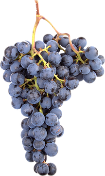 pinot-noir-grapes-285905-cutout.png