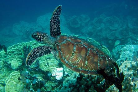Sea Turtle - Guam