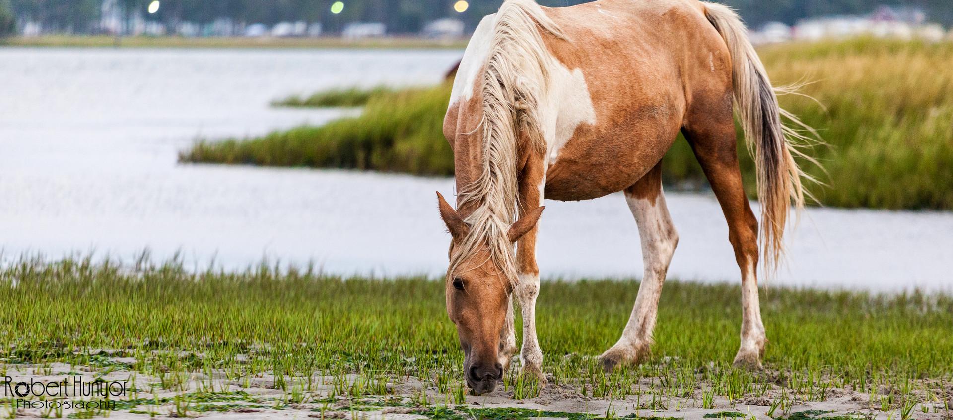 Wild Pony - Chincoteague, VA