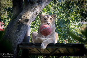 Lion Having A Ball