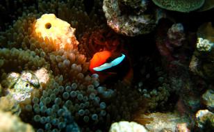 Clown Fish - Guam