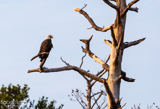 Bald Eagle - Chincoteague, VA