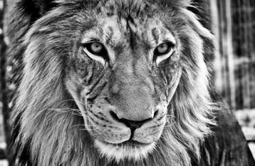 Lion - Denver, CO