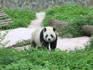 MEET PANDA Xing Ya en Wu Wen