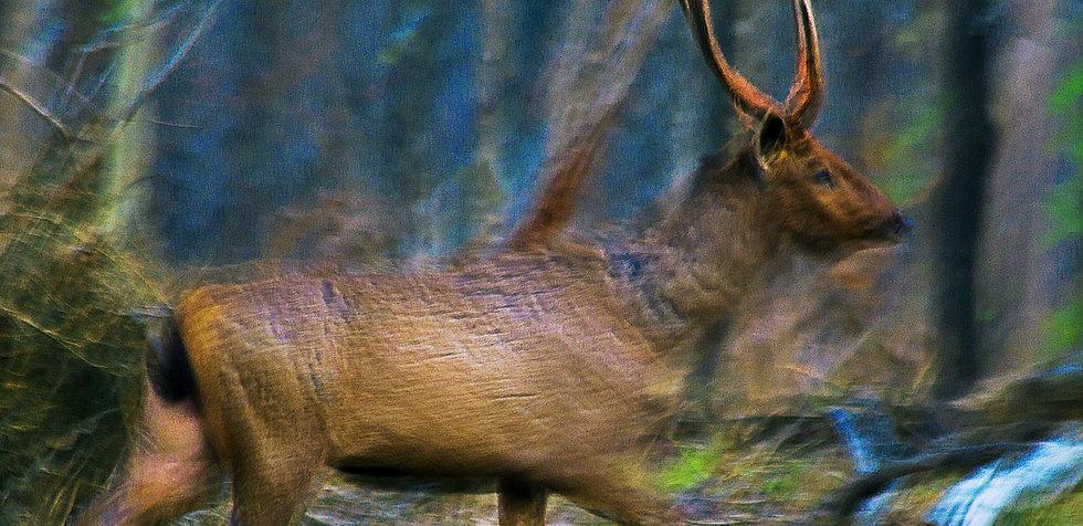 Sambar Deer running