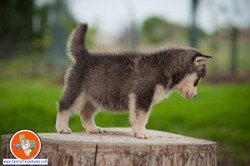 central-texas-husky_austin-siberian-husky-breeder_703964_20180324