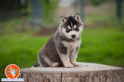 central-texas-husky_austin-siberian-husky-breeder_703954_20180324