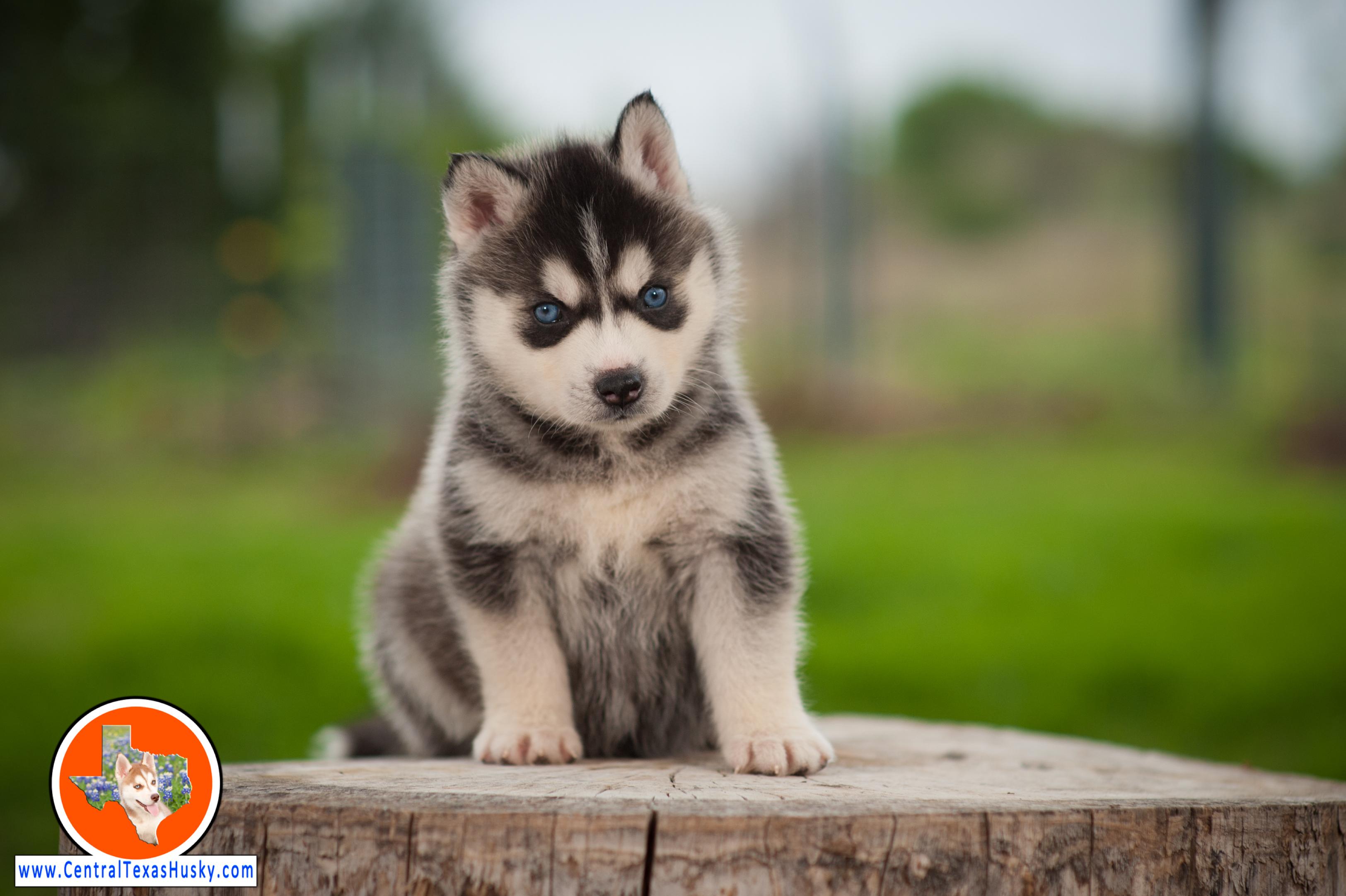 central-texas-husky_austin-siberian-husky-breeder_703957_20180324