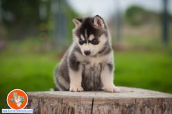 central-texas-husky_austin-siberian-husky-breeder_703961_20180324
