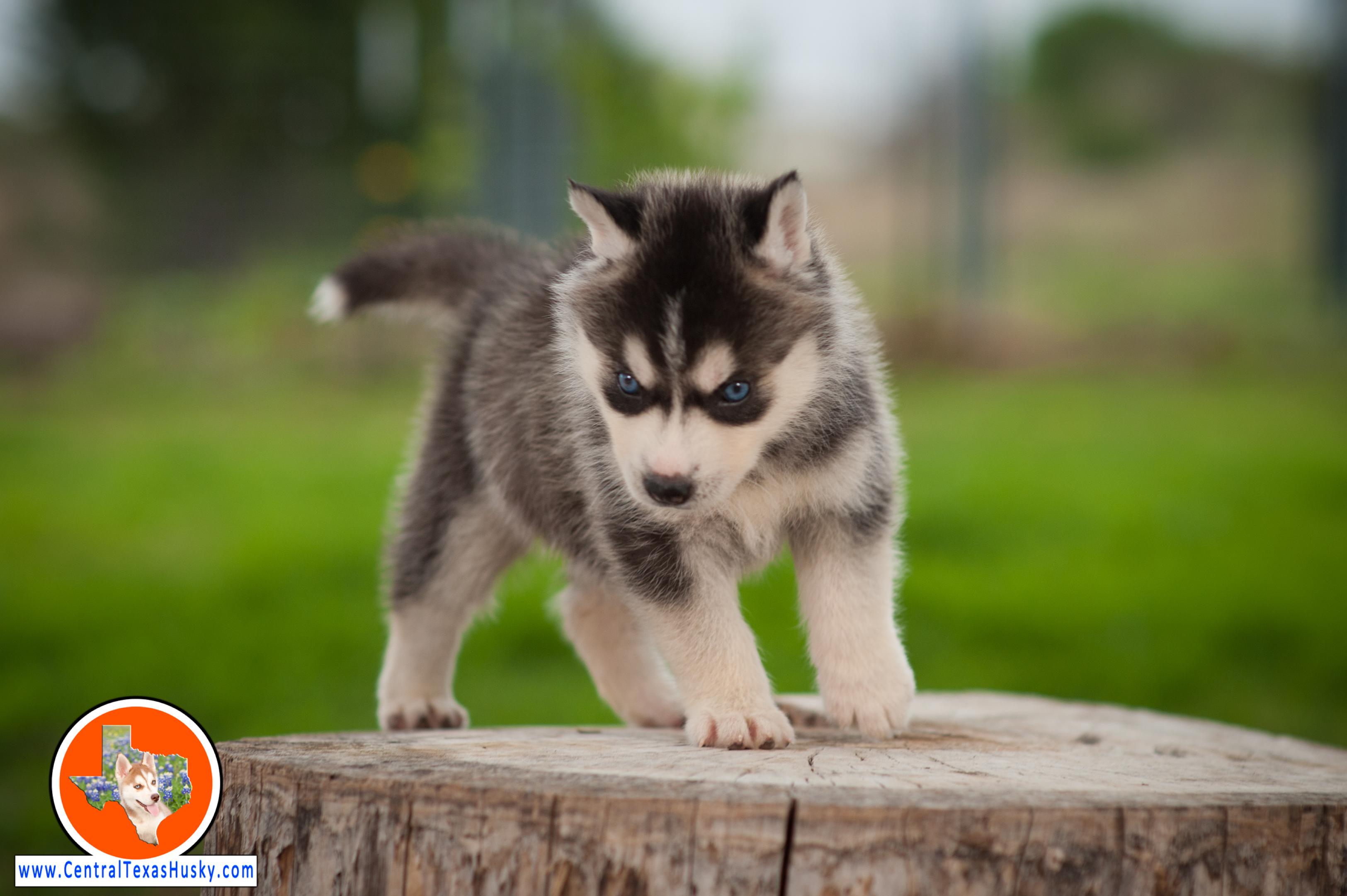 central-texas-husky_austin-siberian-husky-breeder_703962_20180324