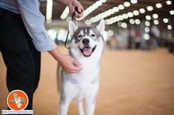 central-texas-husky_austin-siberian-husky-breeder_700725_20170923