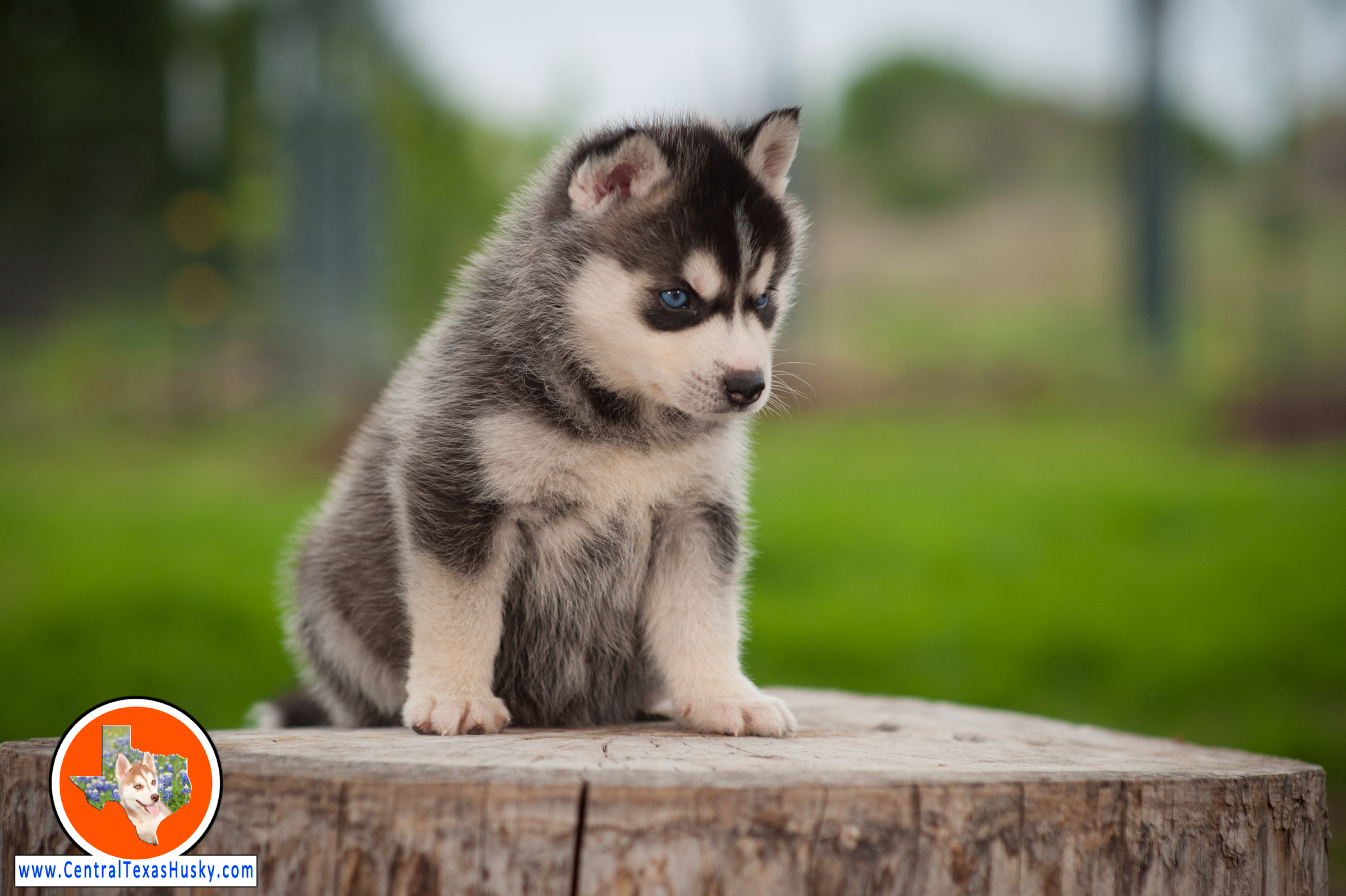 central-texas-husky_austin-siberian-husky-breeder_703959_20180324