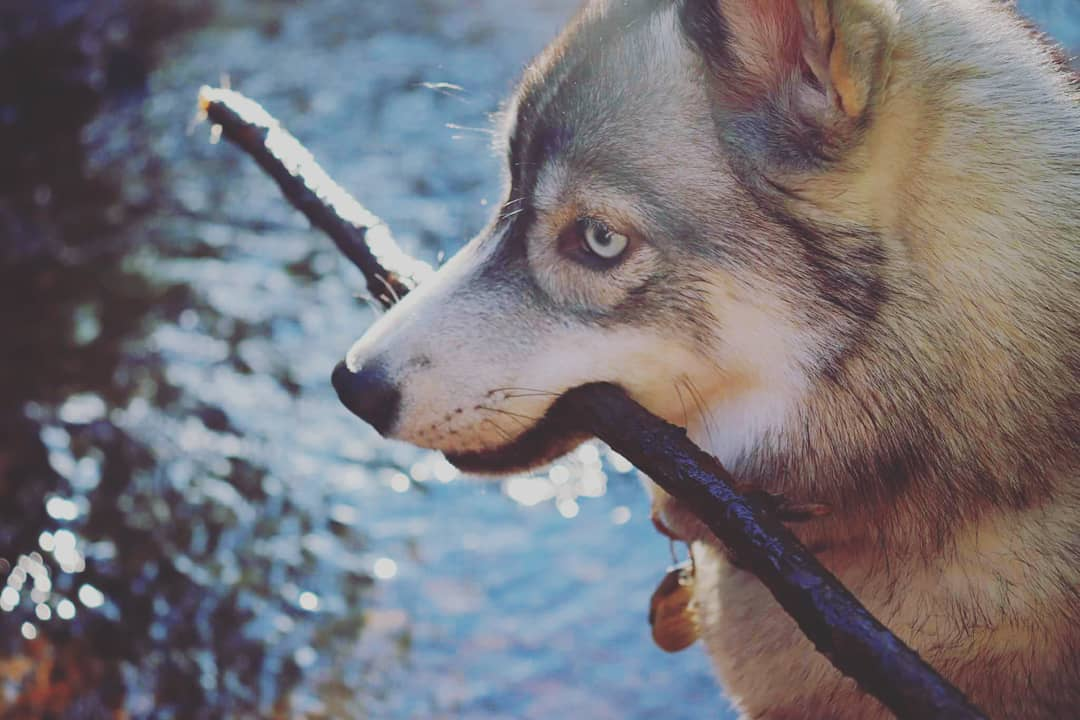 austin-texas-tx-best-siberian-husky-bree