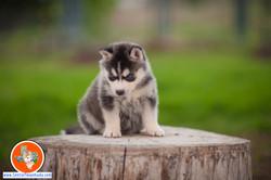 central-texas-husky_austin-siberian-husky-breeder_703951_20180324