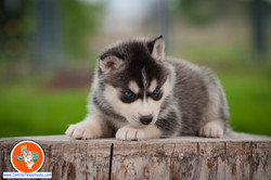 central-texas-husky_austin-siberian-husky-breeder_703973_20180324