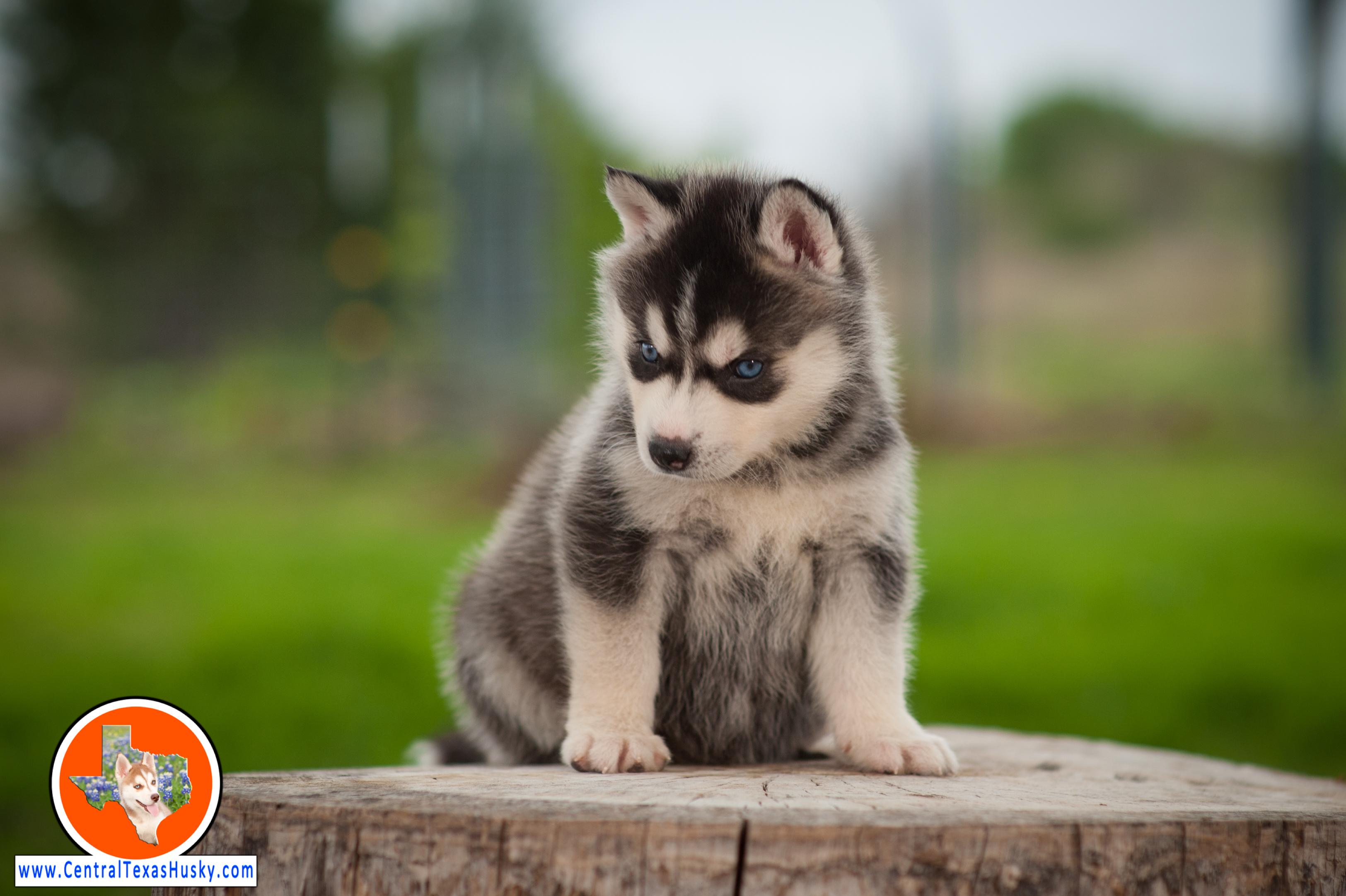 central-texas-husky_austin-siberian-husky-breeder_703960_20180324