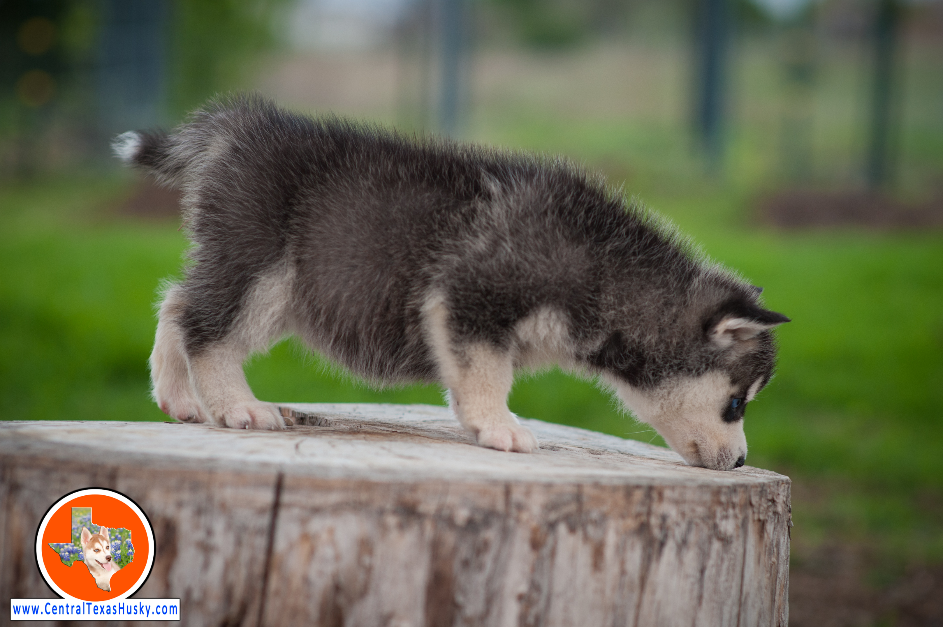 central-texas-husky_austin-siberian-husky-breeder_703966_20180324