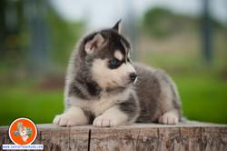 central-texas-husky_austin-siberian-husky-breeder_703974_20180324