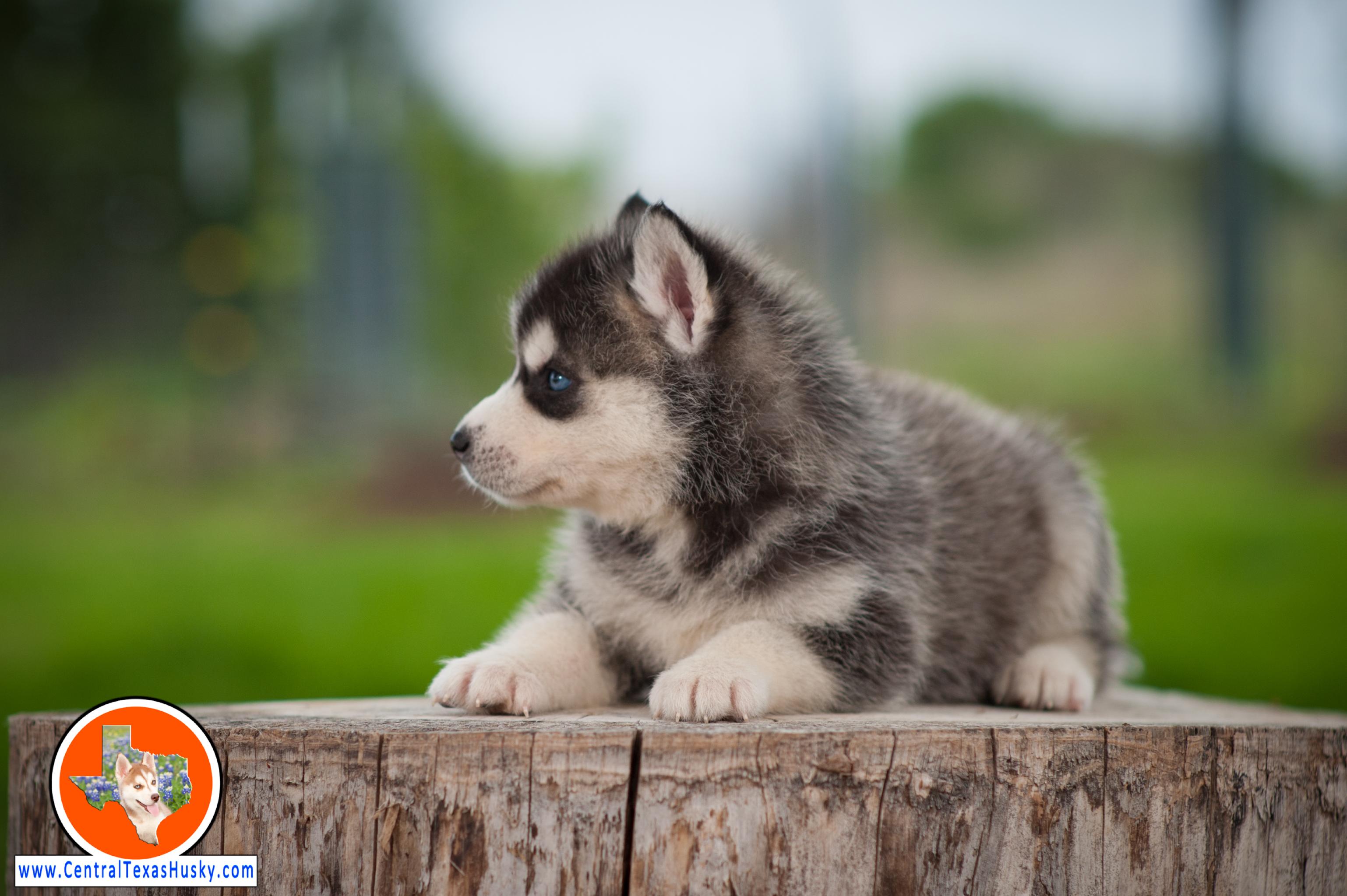 central-texas-husky_austin-siberian-husky-breeder_703971_20180324
