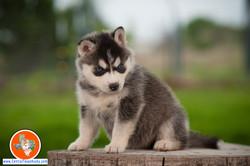central-texas-husky_austin-siberian-husky-breeder_703979_20180324