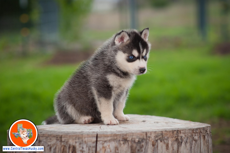 central-texas-husky_austin-siberian-husky-breeder_703952_20180324