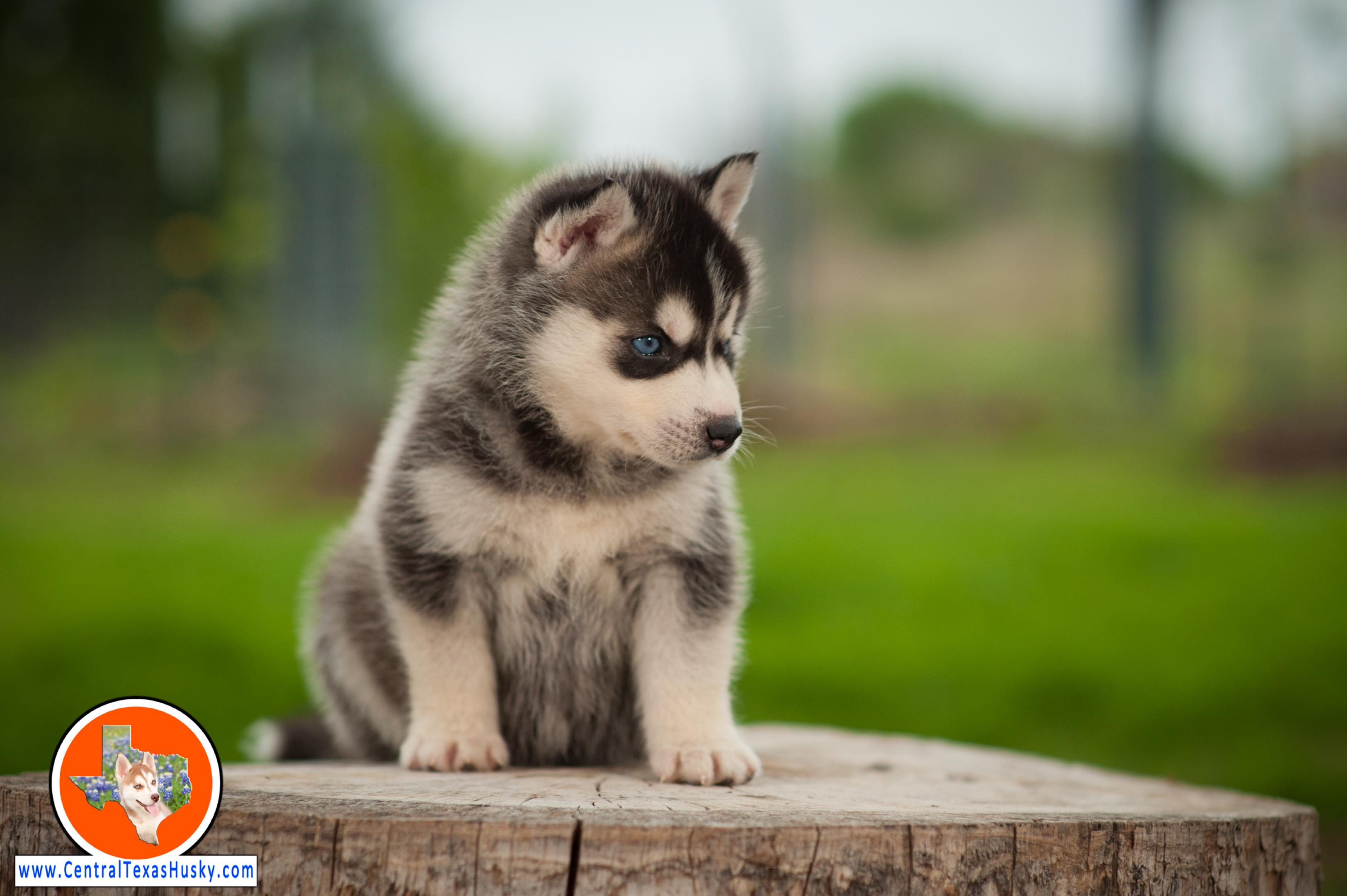 central-texas-husky_austin-siberian-husky-breeder_703955_20180324