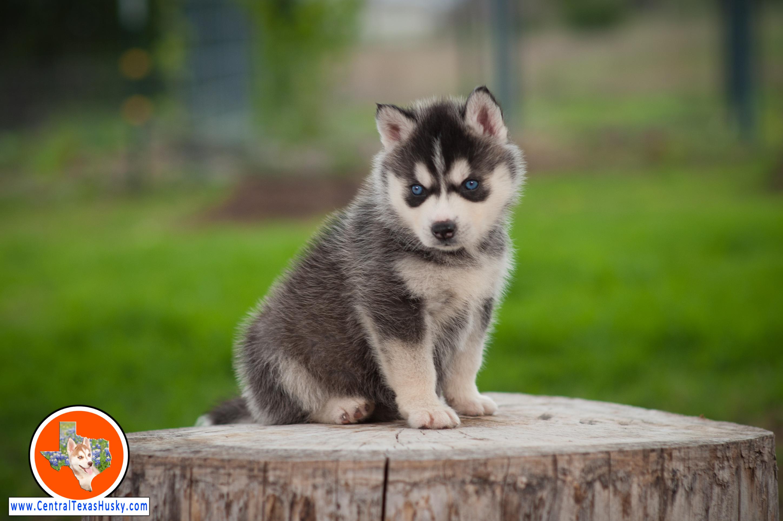 central-texas-husky_austin-siberian-husky-breeder_703953_20180324