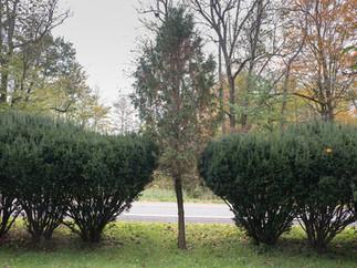 Tree between 4 Bushes Dryden final.jpg