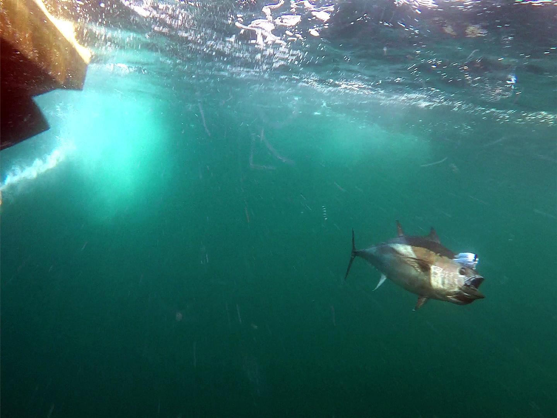 nice bluefin shot