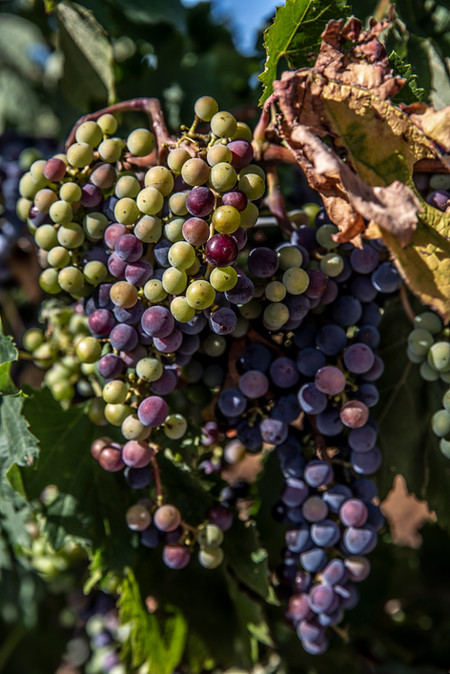 Wine grapes-5358.jpg