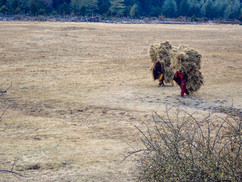 carrying hay - Dhorpatan -  Baglung District